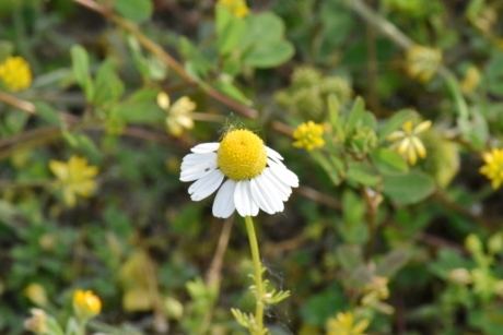chamomile, herb, meadow, flower, spring, blossom, plant, nature, flora, leaf