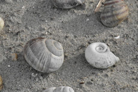 seashell, shell, seashore, nature, beach, sand, mollusk, summer, sea, marine