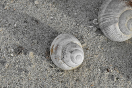 beach, sand, gastropod, mollusk, invertebrate, seashore, shell, nature, seashell, shore