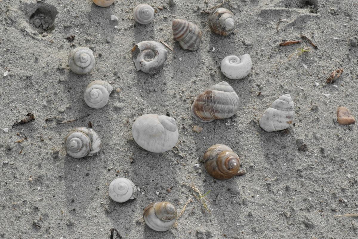 skalldyr, sneglen, konkylie, skjell, kysten, stranden, skjell, sand, spiral, natur