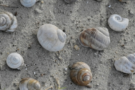 seashell, snail, seashore, beach, shellfish, conch, spiral, shell, sand, nature