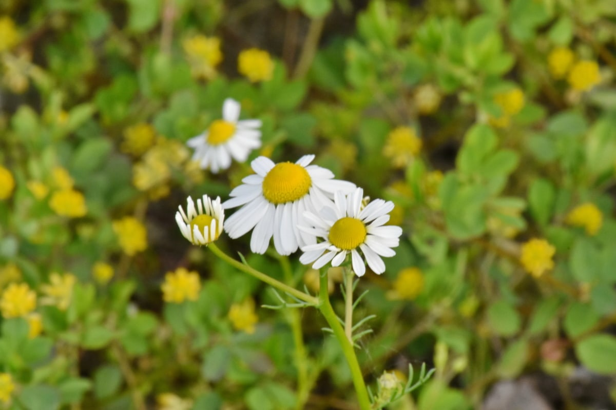 chamomile, daisy, herb, spring, meadow, plant, blossom, flower, nature, hay field