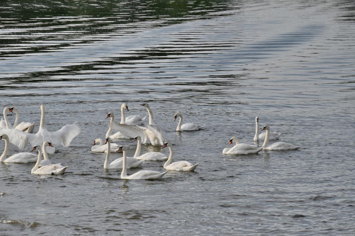 flok, svane, fugl, akvatisk fugl, vand, søen, dyreliv, vandfugle, pool, svømning