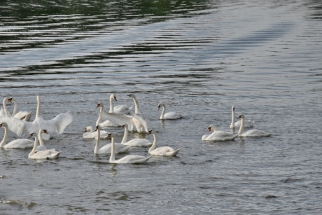 flock, swan, bird, aquatic bird, water, lake, wildlife, waterfowl, pool, swimming