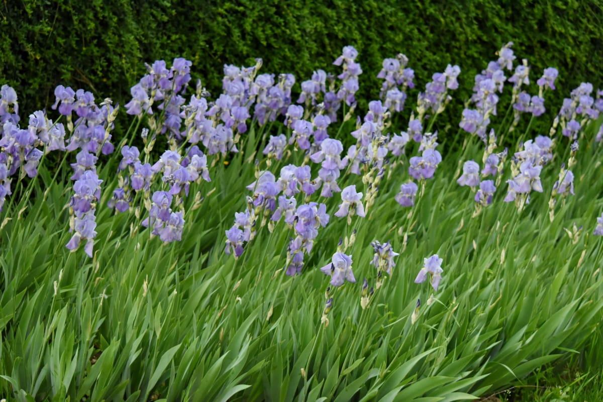 Iris, Sommer, hage, flora, anlegget, blomst, blomster, urt, vår, natur