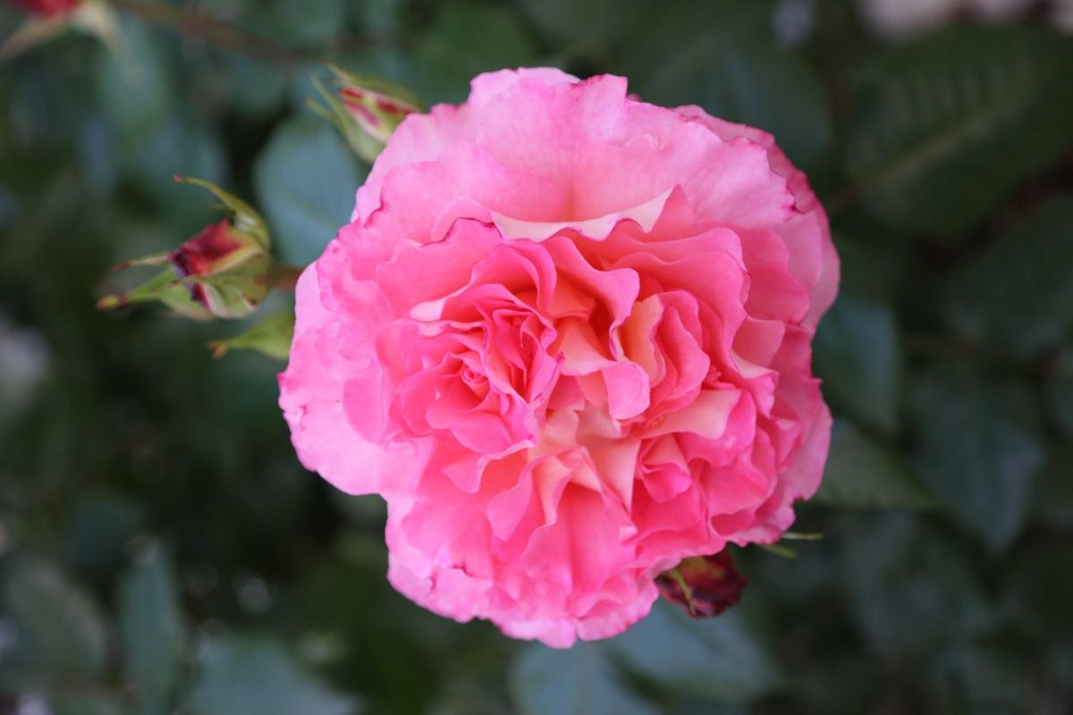 detaily, poupě, květinová zahrada, zahradnictví, okvětní lístky, růžovo, růže, keř, barva, růže