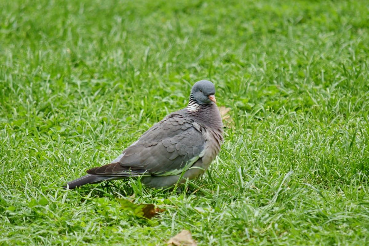piccione, fauna selvatica, selvaggio, erba, becco, piuma, animale, uccello, natura, tempo libero