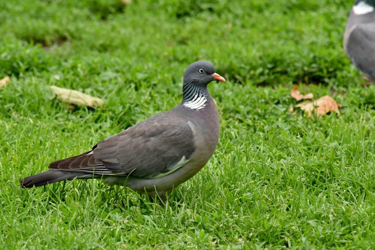 zelena trava, golub, biljni i životinjski svijet, kljun, pero, priroda, ptica, trava, divlje, životinja