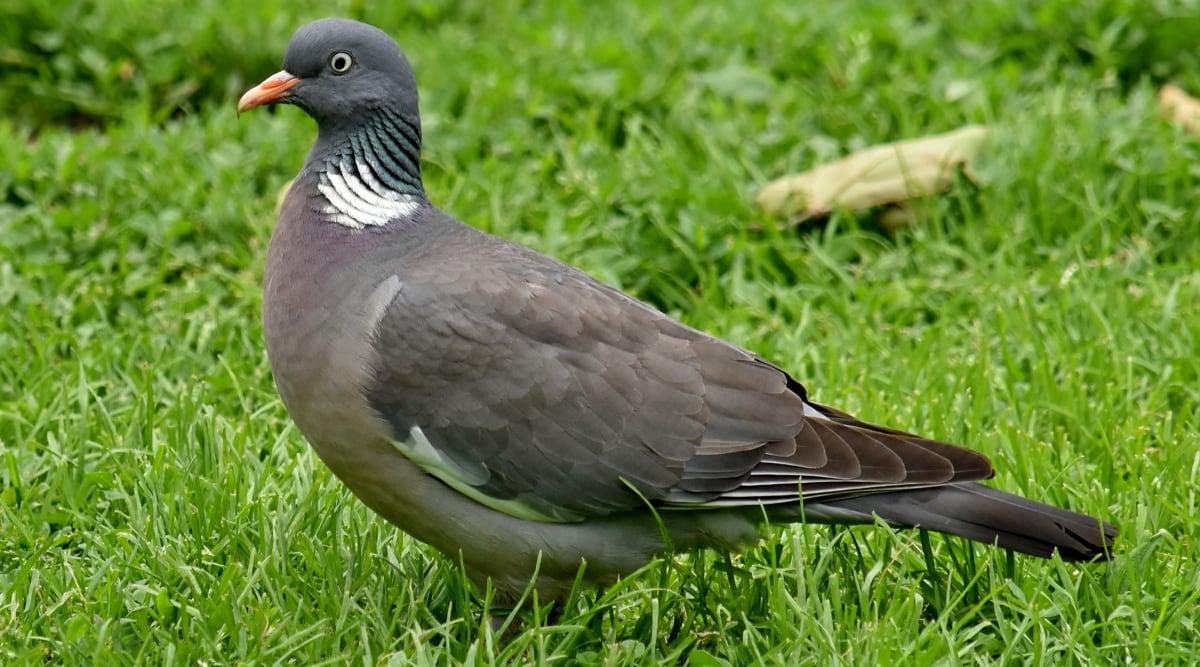 cinza, pena, bico, pombo, natureza, vida selvagem, animal, pássaro, grama, cinza