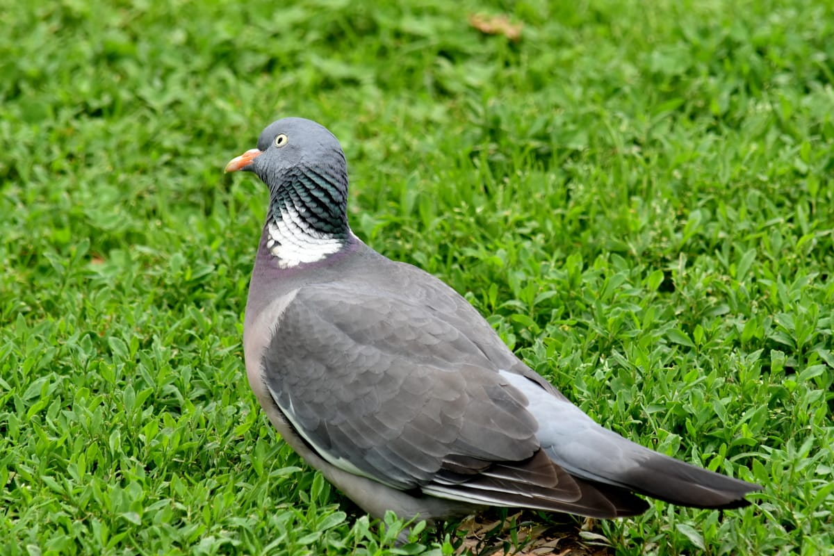 curioso, cinza, grama verde, pombo, vida selvagem, bico, animal, pássaro, pena, cinza