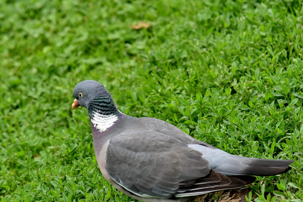 šedá, hlava, holub, zobák, zvíře, peří, Dove, Příroda, pták, divoká zvěř