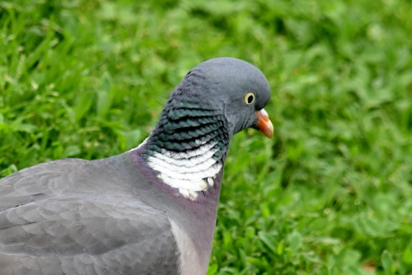 head, pigeon, side view, wildlife, feather, beak, animal, nature, bird, wild