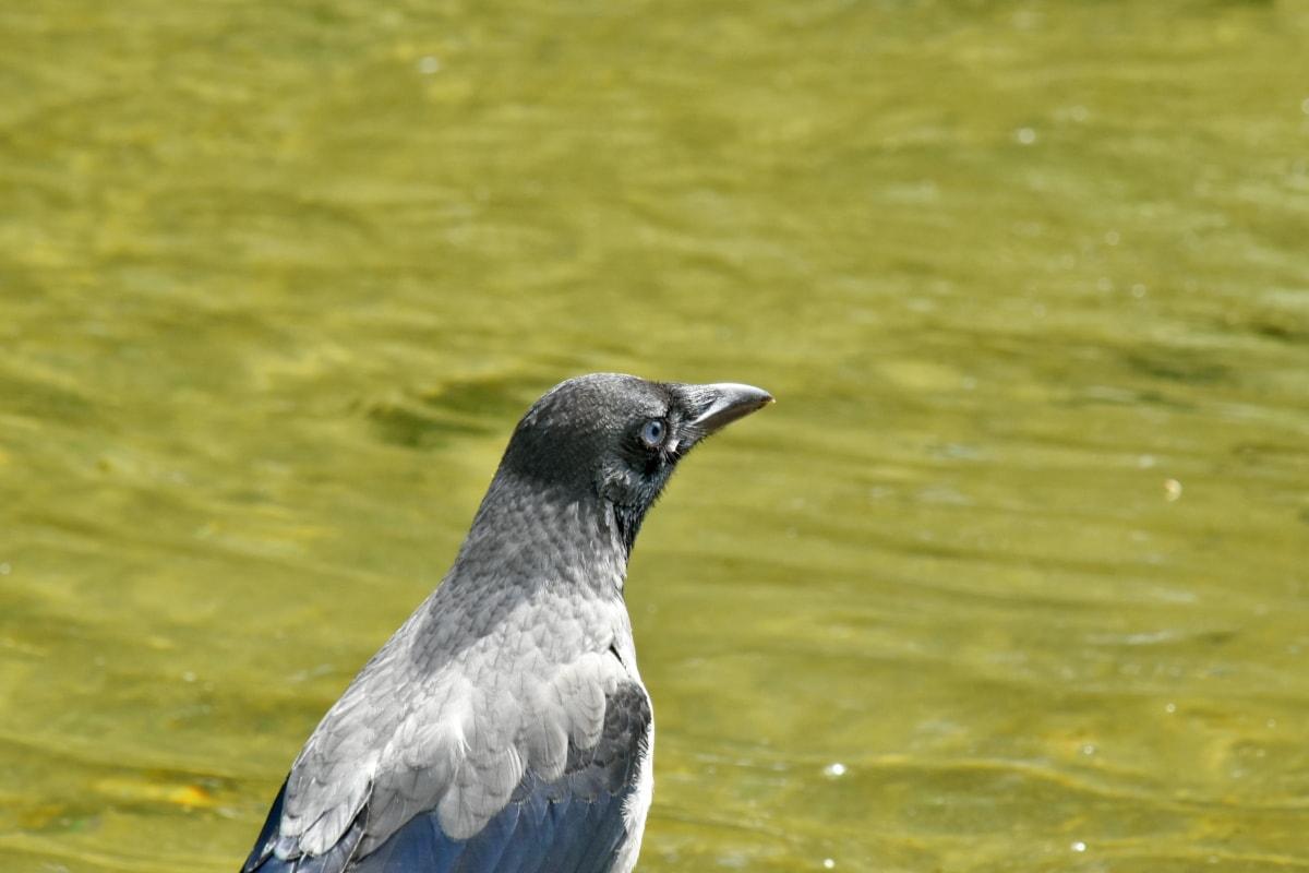 cabeça, Vista lateral, pássaro, natureza, selvagem, vida selvagem, animal, bico, aviária, pena