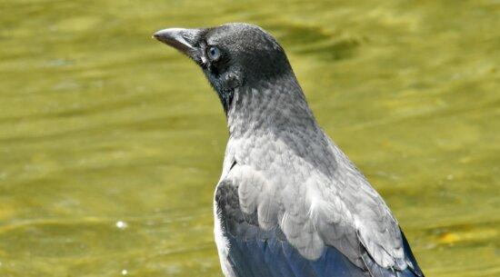 pasăre, gri, cap, vedere laterala, cioc, sălbatice, pene, faunei sălbatice, animale, natura