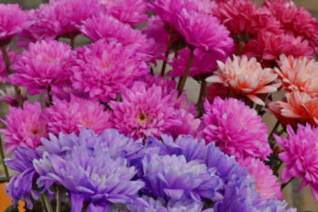 bouquet, chrysanthemum, pinkish, purple, petal, garden, nature, pink, leaf, flower