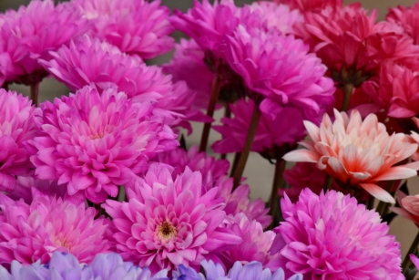 bouquet, chrysanthemum, pink, flower, petal, blossom, blooming, color, decoration, season