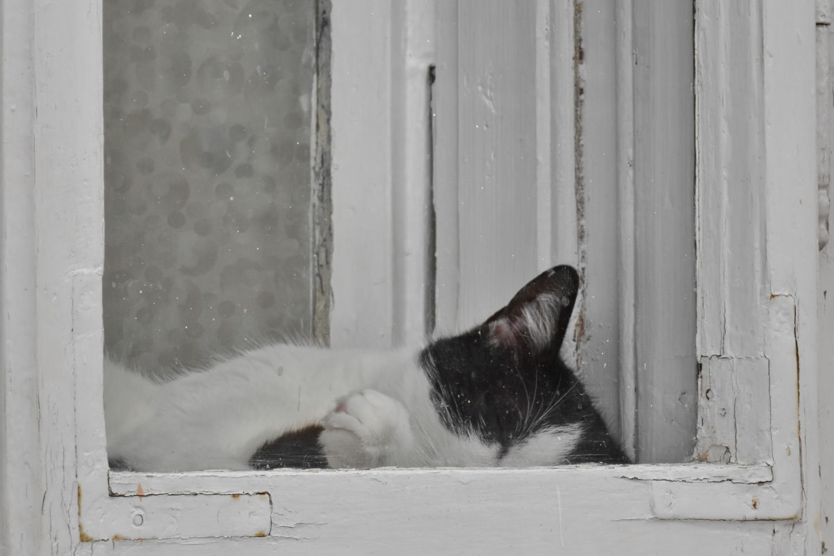 čierna a biela, mačka domáca, spí, okno, mačka, parapet, portrét, dom, mačiatko, zviera