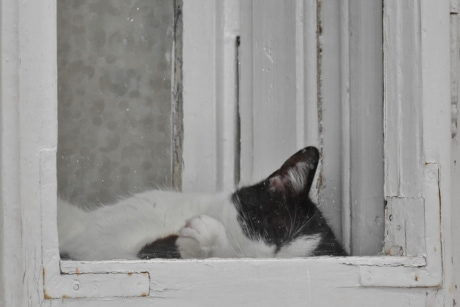 black and white, domestic cat, sleeping, window, cat, sill, portrait, house, kitten, animal