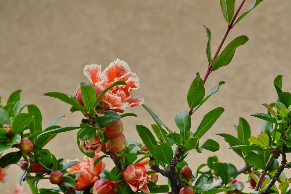gren, blomknopp, blomma trädgård, buske, Anläggningen, blad, blomma, naturen, sommar, ljusa