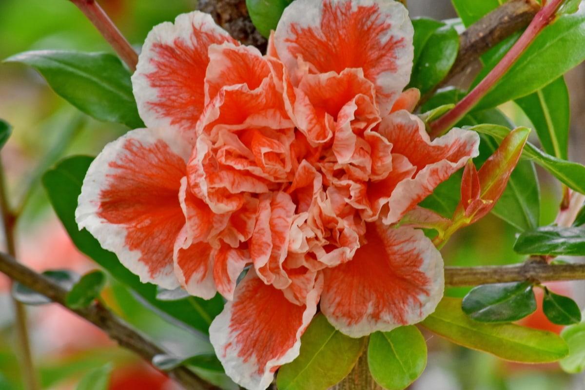 yaprakları, kırmızımsı, çalı, bahar zamanı, bitki, pembe, yaprak, çiçek, flora, doğa