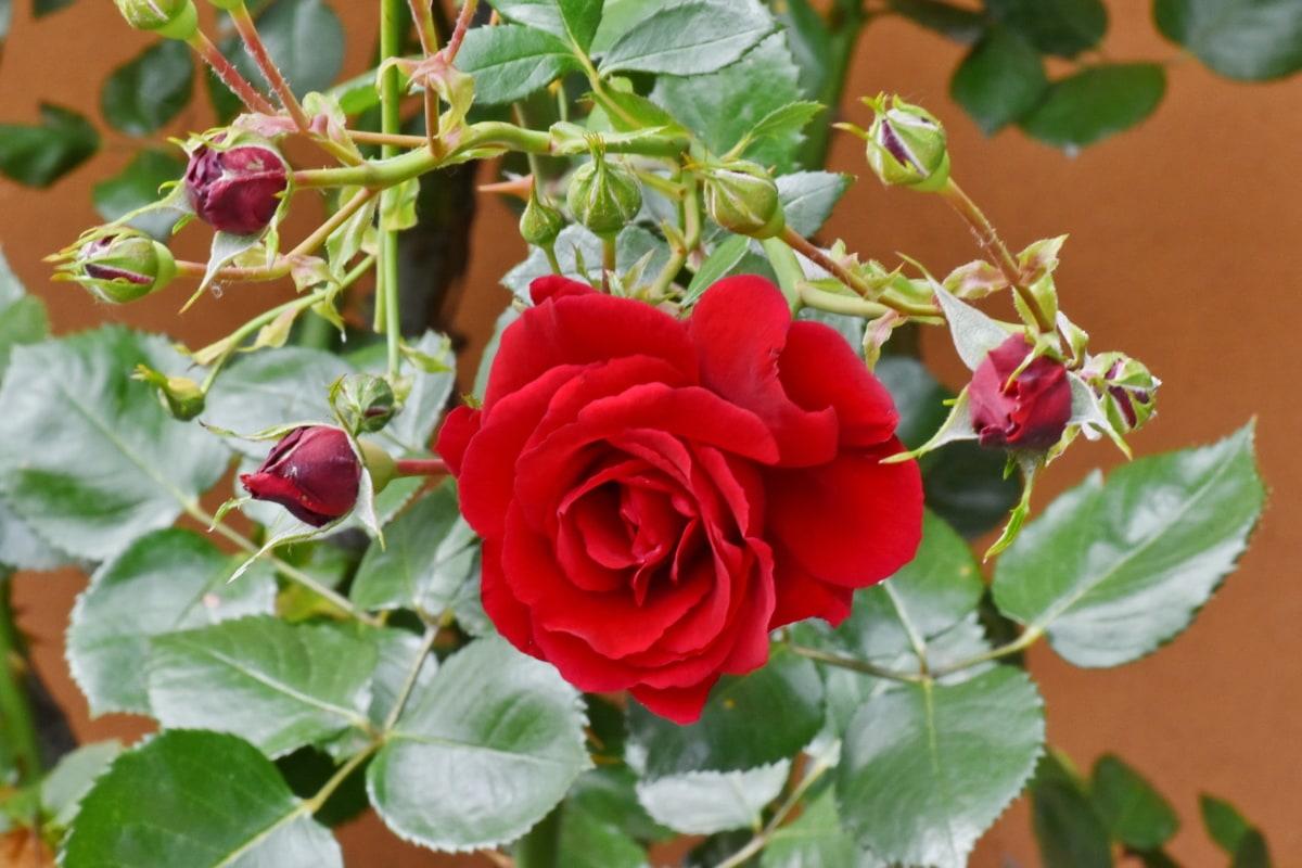 virágoskert, virágok, cserje, napsütés, Rózsa, levél, virág, természet, Flóra, kert
