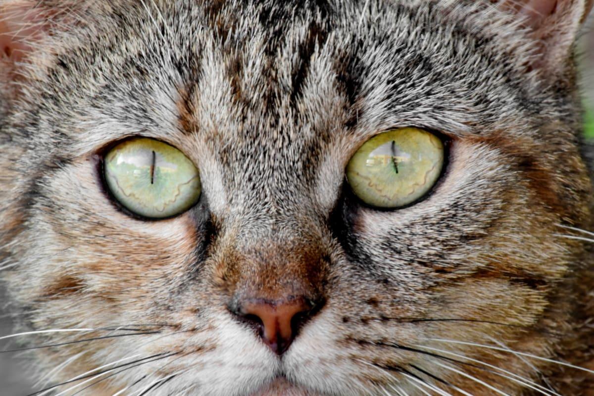 thông tin chi tiết, nhãn cầu, lông mi, đôi mắt, chân dung, mèo con, động vật, con mèo, sọc mèo, thác
