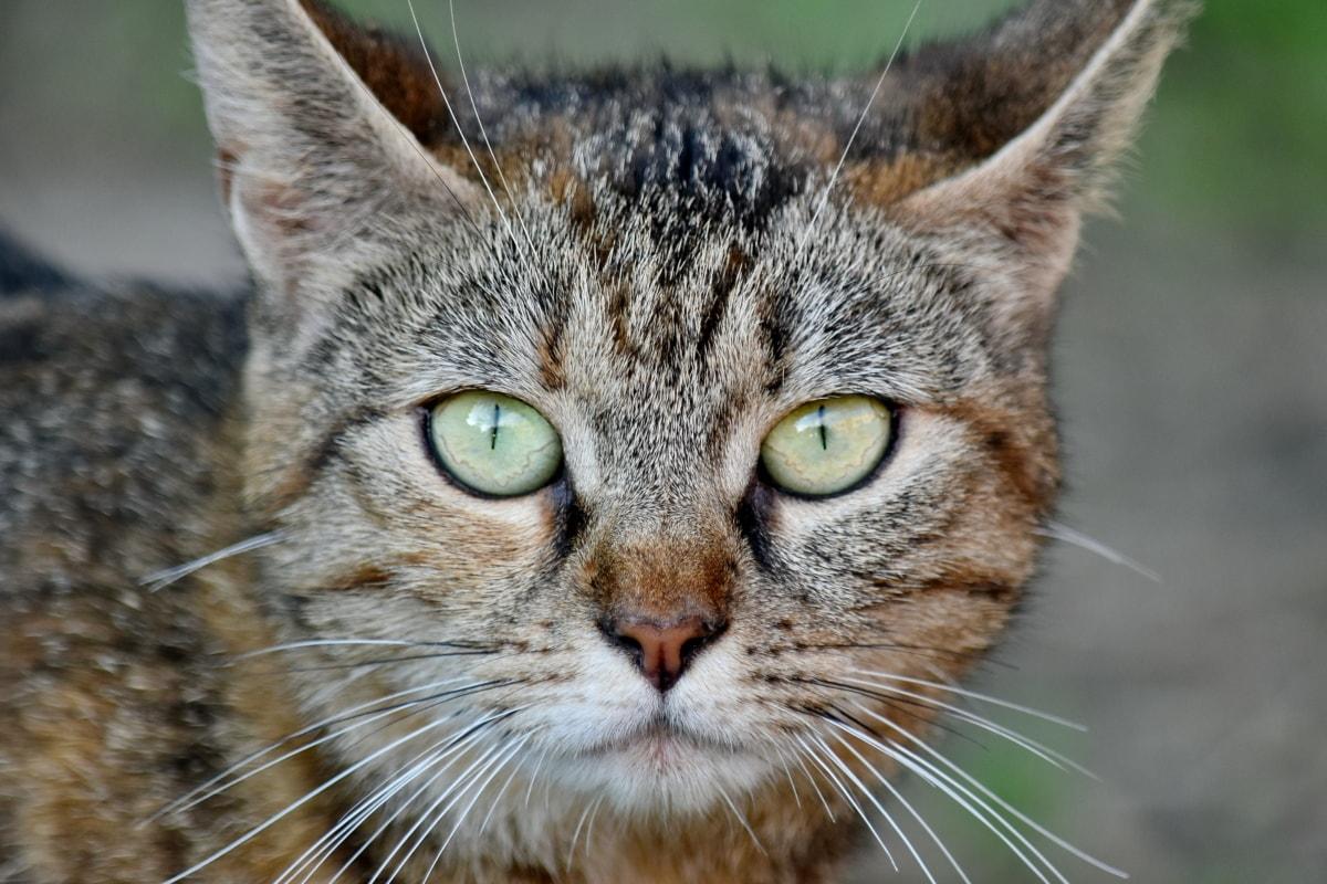 น่ารัก, แนวตั้ง, แมว, ตา, หนวด, แมว, แมว, น่ารัก, แมวลาย, สัตว์