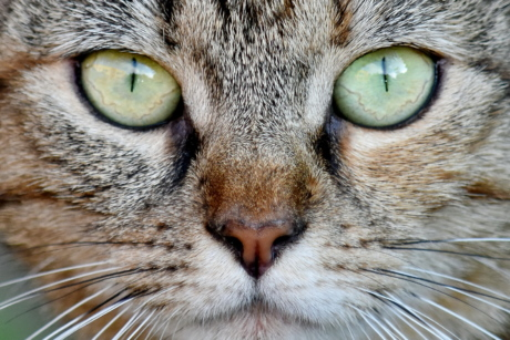 chat domestique, yeux, nez, Portrait, moustaches, mignon, chat rayé, chat, Moustache, animal