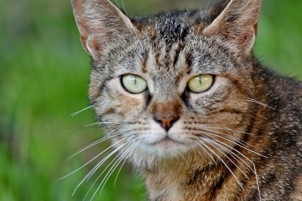 znatiželjan, domaća mačka, krzno, oko, mačji, životinja, slatka, mačka, mače, zalistak
