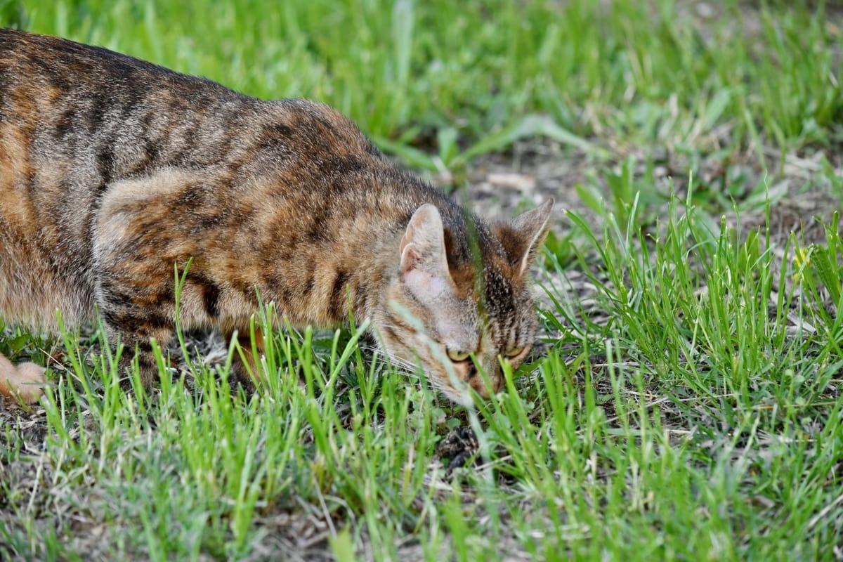 ciekaw, Kot domowy, Zielona trawa, Koci, trawa, Kot, Natura, ładny, Futro, kotek