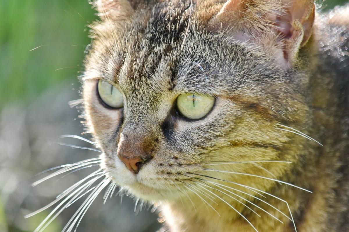 yerli kedi, portre, güneş ışığı, Kürk, çizgili kedi, kedi, doğa, göz, hayvan, kedi