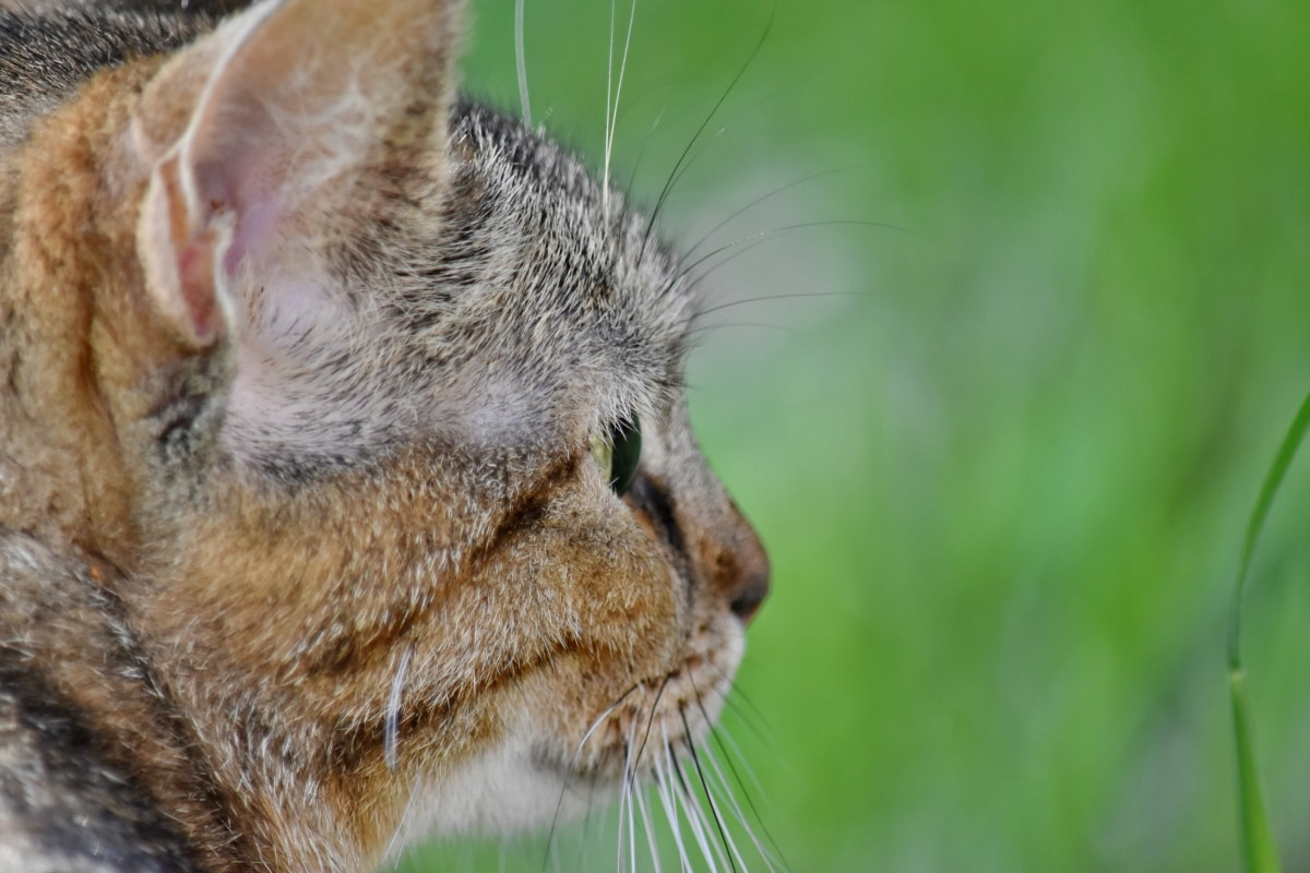 tabby cat, animal, cat, curious, cute, domestic cat, ecology, environment, eye, eyes