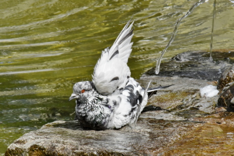 bathing, fountain, pigeon, urban area, wing, nature, bird, wildlife, water, animal