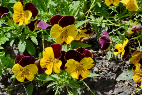 tricolor, summer, nature, herb, garden, viola, flora, flower, leaf, blooming