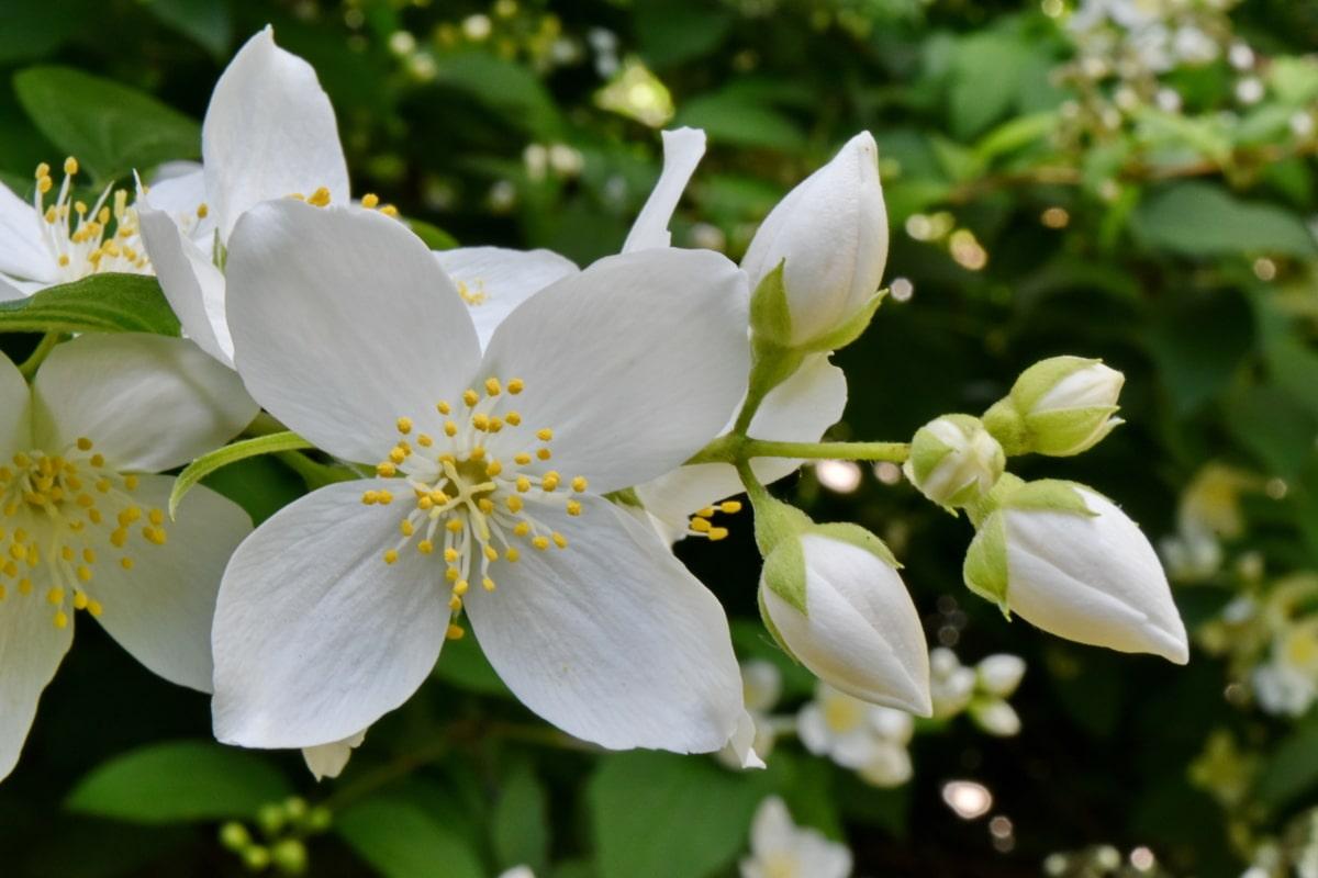 detalj, grm, bijeli cvijet, latica, proljeće, priroda, biljka, cvijeće, cvijet, list