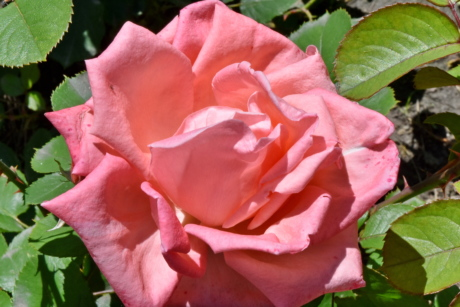 flower garden, pinkish, roses, shrub, rose, flower, garden, plant, leaf, nature