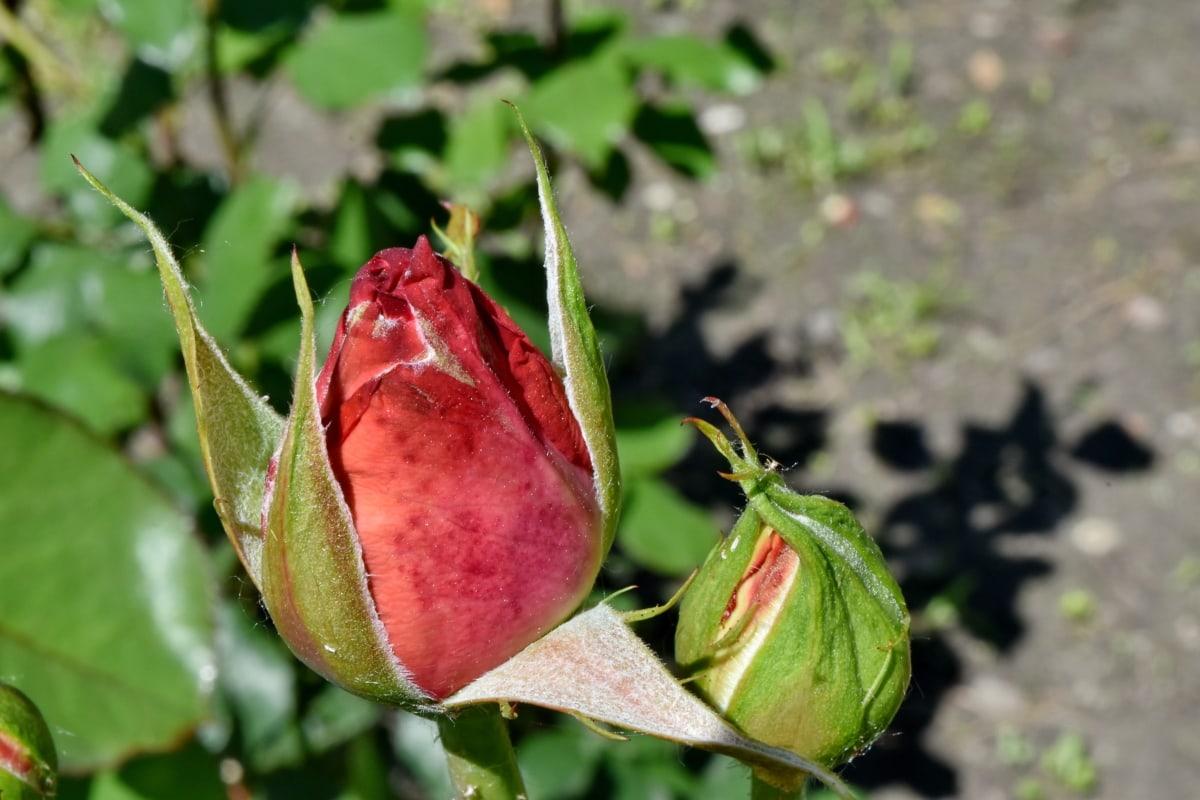 花蕾, 花卉园, 芽, 性质, 叶, 夏天, 户外活动, 花, 上升, 植物区系