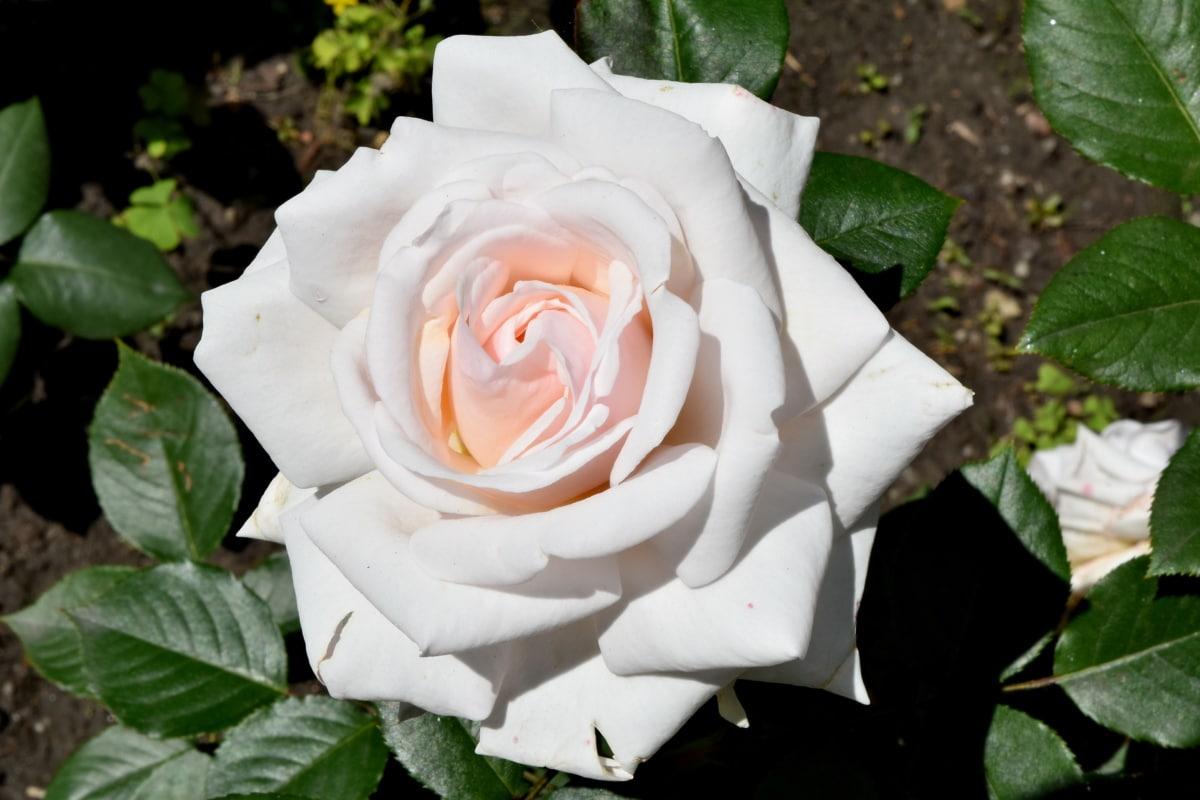 花卉园, 白花, 上升, 花, 浪漫, 性质, 植物, 灌木, 叶, 花园