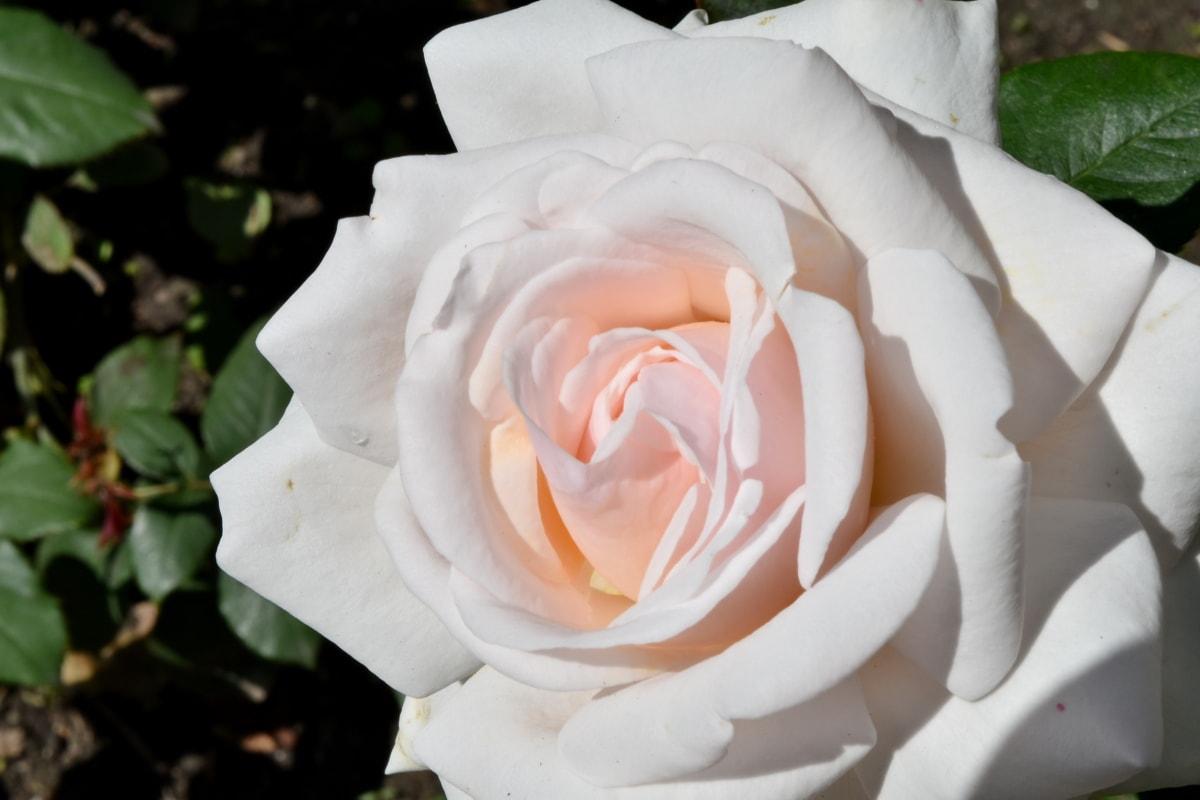 roses, white flower, rose, flower, petals, shrub, plant, flora, nature, blooming