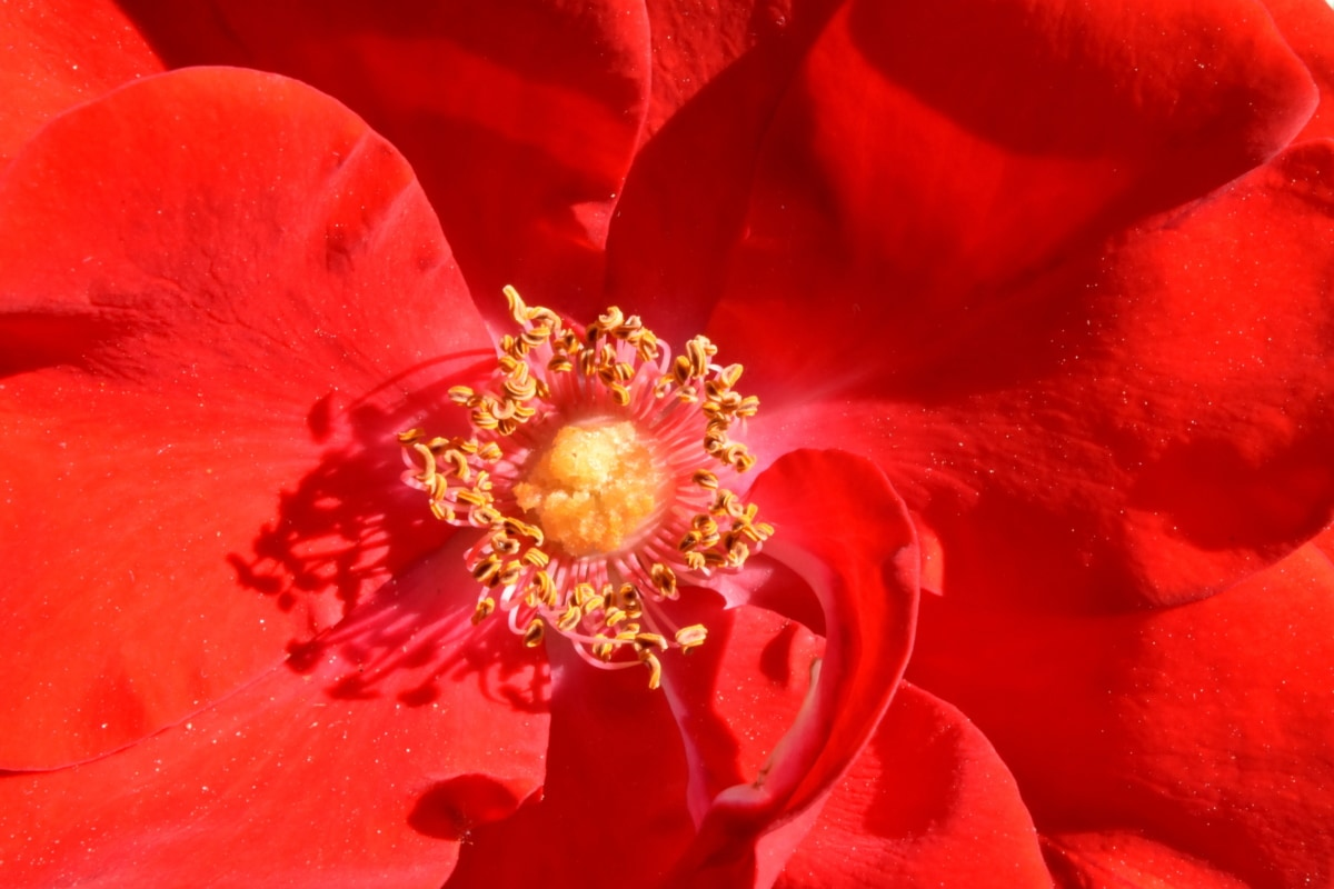 pistil, pollination, reddish, petal, flower, plant, nature, rose, flora, blooming