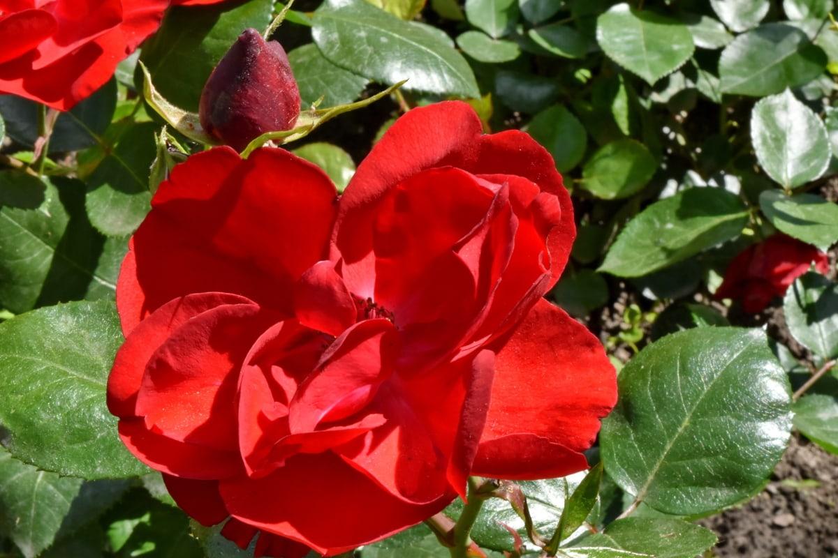 lindas flores, vermelho, rosas, jardim, folha, rosa, natureza, arbusto, flora, flor
