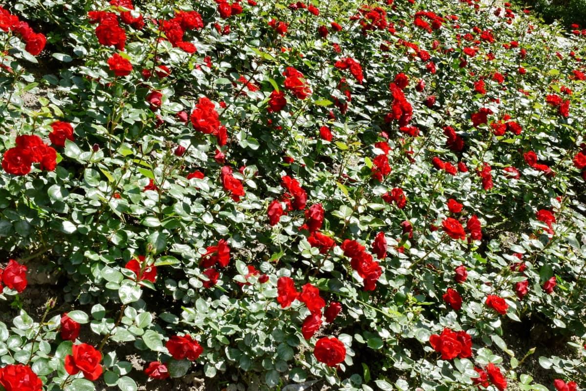 kvetinová záhrada, červená, Ker, jarný čas, krídlo, ruže, rastlín, kvet, Záhrada, kvety