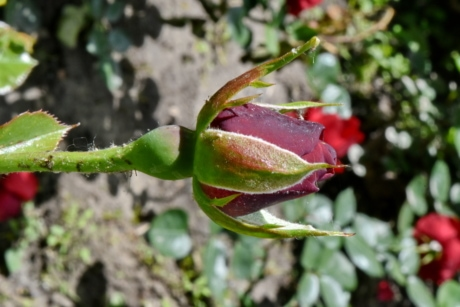 detail, insect, leaf, bud, flower, rose, nature, flora, outdoors, garden
