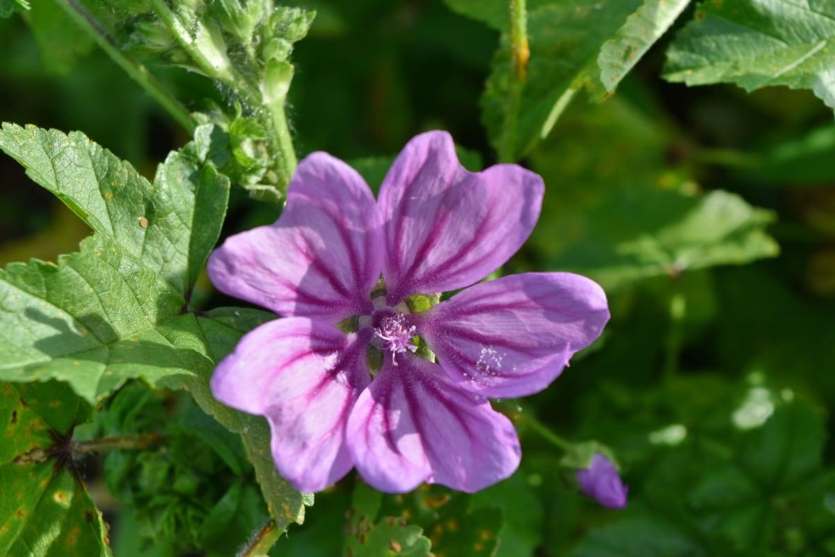 krásne kvety, lístkov, fialová, flóra, príroda, rastlín, bylina, kvet, kvet, krídlo
