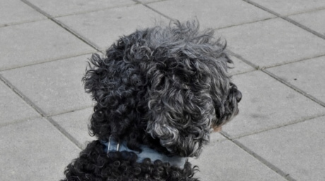 Curl, hunden, furry, siden, hjørnetann, hår, stående, søt, gate, alene