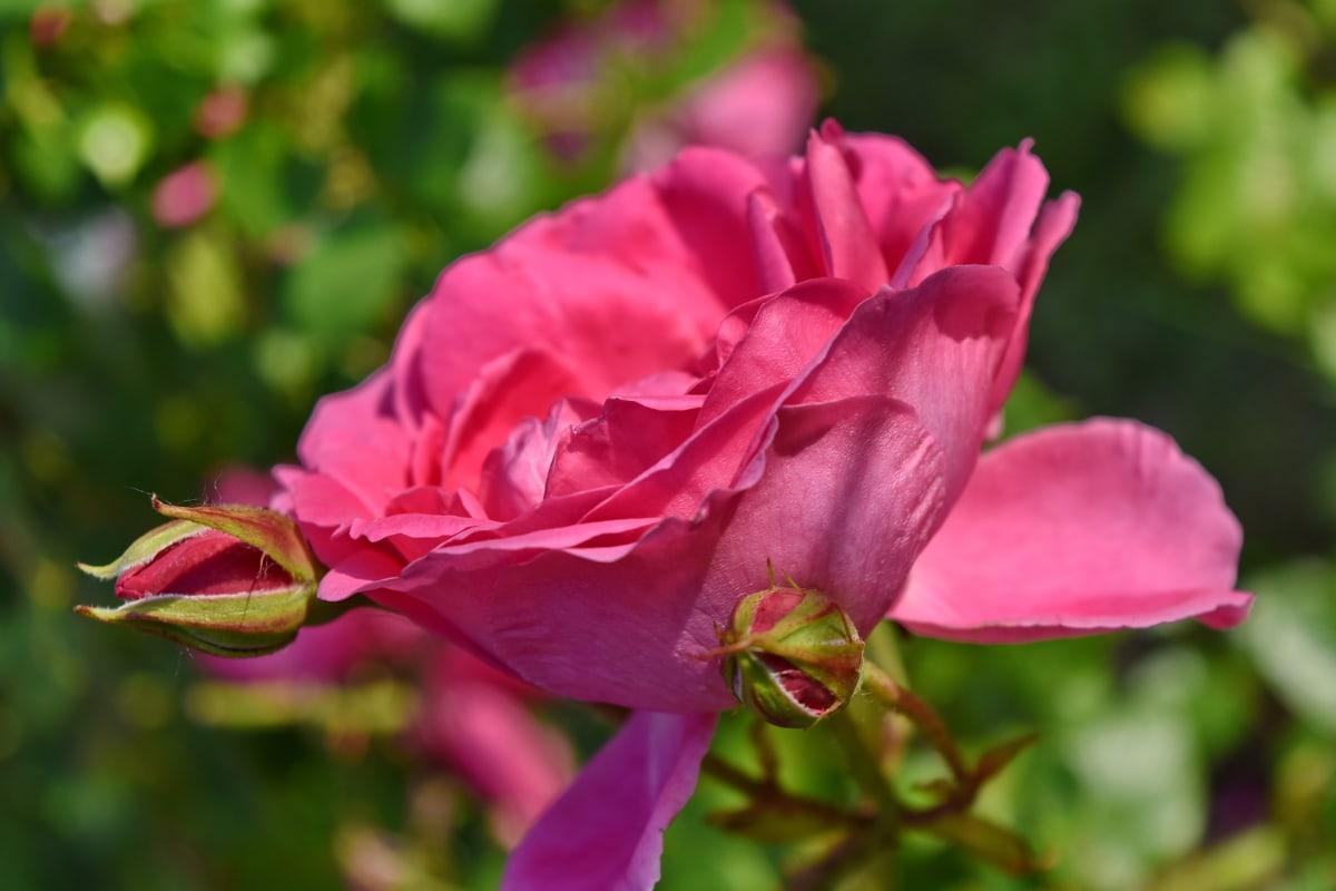 púčik, kvetinová záhrada, jarný čas, príroda, ruže, Ker, Záhrada, flóra, rastlín, kvet