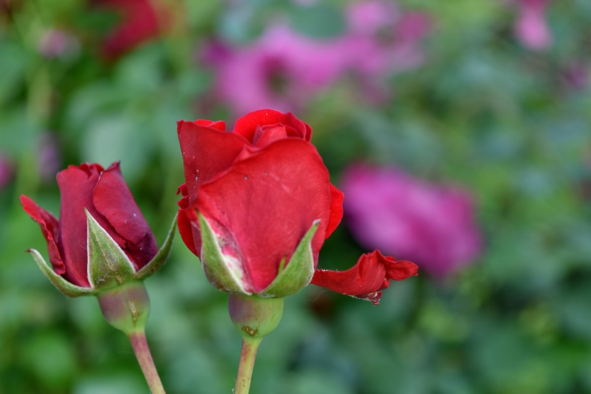 green leaves, horticulture, red, flower, summer, flora, nature, rose, leaf, garden