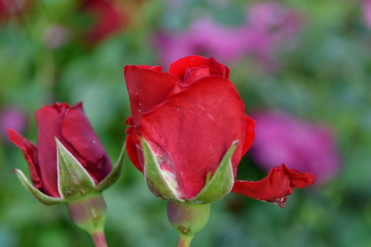 flower bud, flower garden, flowers, red, roses, petal, bud, flora, summer, nature