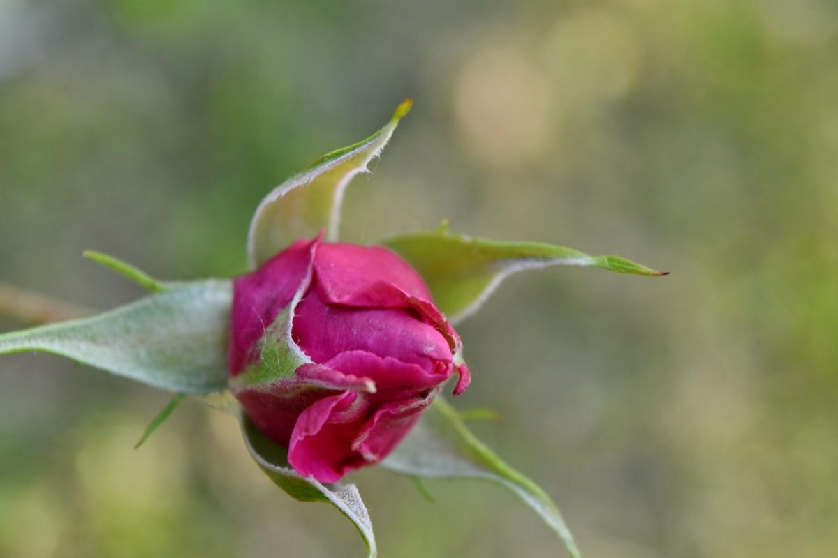 flower bud, flower garden, flower, bud, nature, petal, blossom, rose, leaf, outdoors
