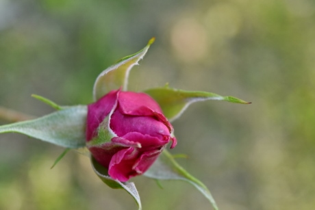 flower bud, flower garden, flower, bud, nature, petal, blossom, rose, leaf, outdoors